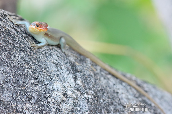 African striped skink (Mabuya striata.)