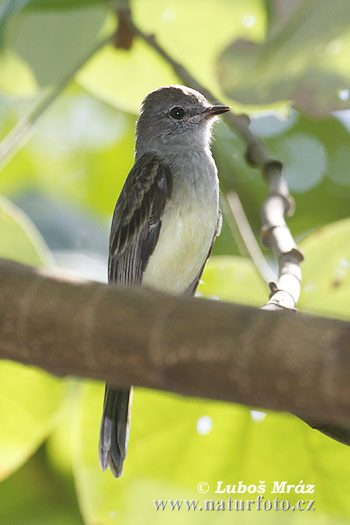 Alder Flycatcher (Empidonax alnorum)