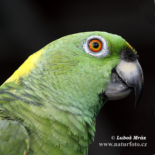 Amazona auropalliata