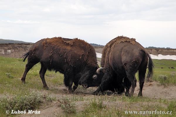American Bison....belli vero!!!!! proprio bell...aiut.....o!!!!! dans animali grandi, grandi (wow!) american-bison-xxx09f414