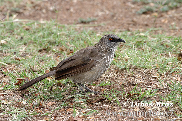 Arrow-marked Arrowmarked Babbler (Turdoides jardineii)