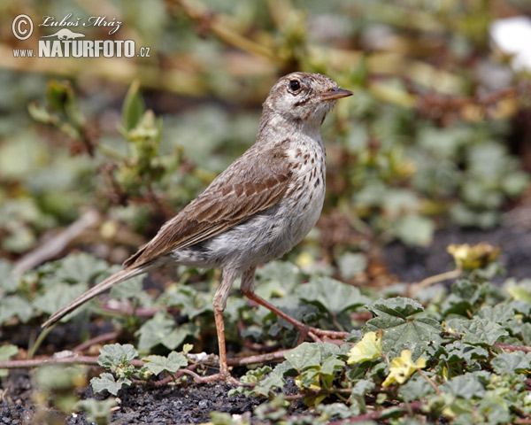 Berthelot´s Pipit (Anthus berthelotii)