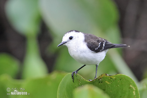 Black-backed Water-Tyrant (Fluvicola albiventer)