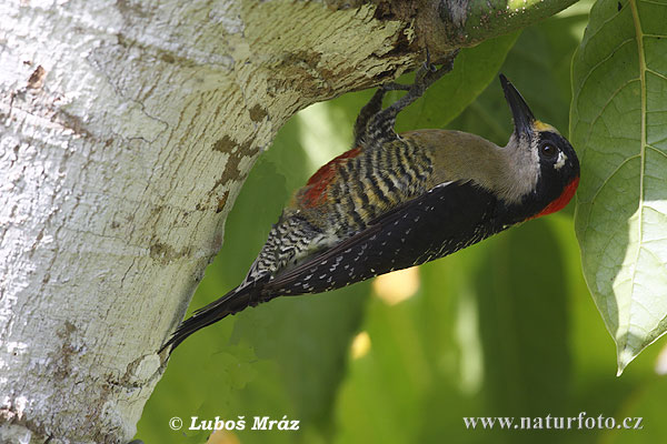 Black-cheeked Woodpecker (Melanerpes pucherani)
