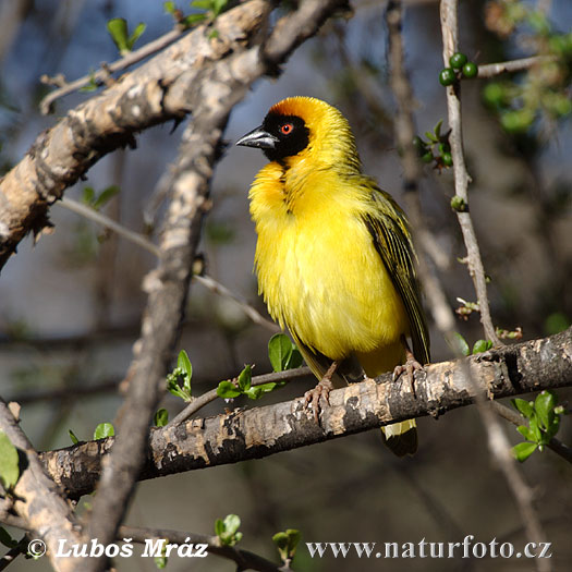 Black fronted Southern Masked Weaver (Ploceus velatus)