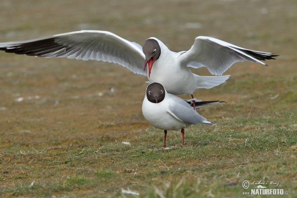 Black-headed Gull (Chroicocephalus ridibundus)