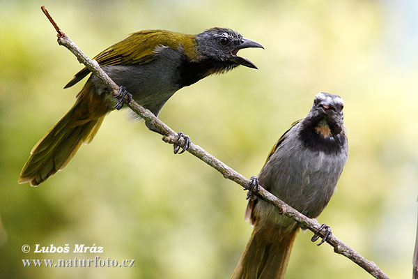 Black Headed Saltator (Saltator atriceps)
