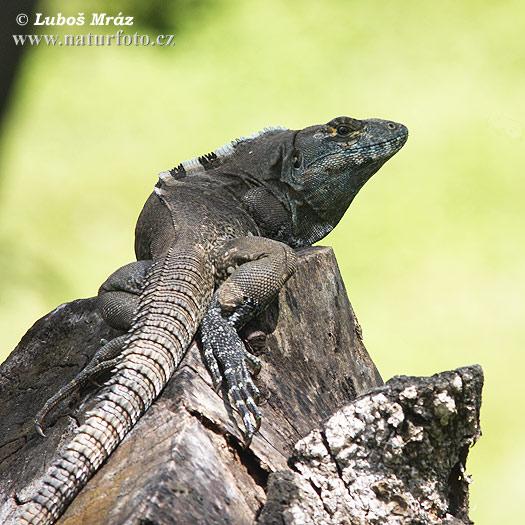 iguana tattoo kokkola gti lehti