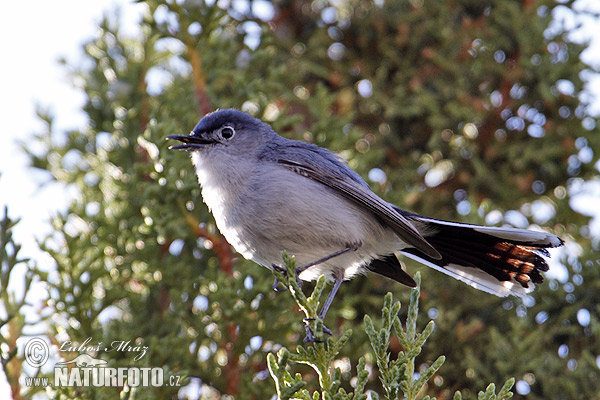 Black-tailed Gnatcatcher (Polioptila melanura)