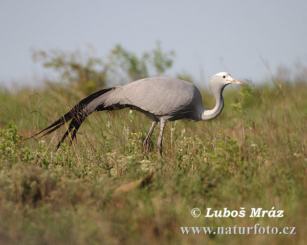 Blue Crane (Anthropoides paradisea)