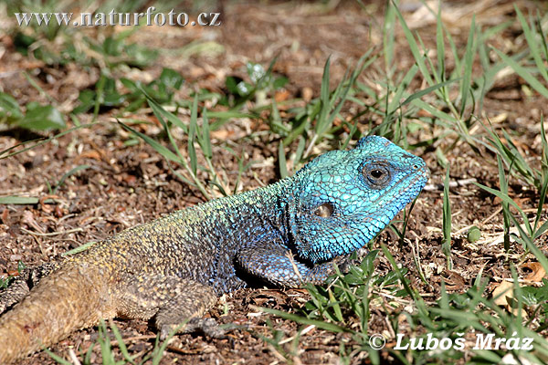 Blue Headed Southern Tree Agama (Acanthocercus atricollis)