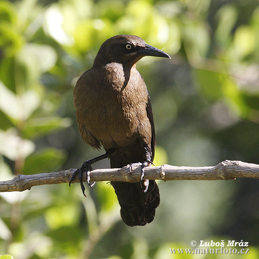 Boat-tailed Grackle (Quiscalus mexicanus)