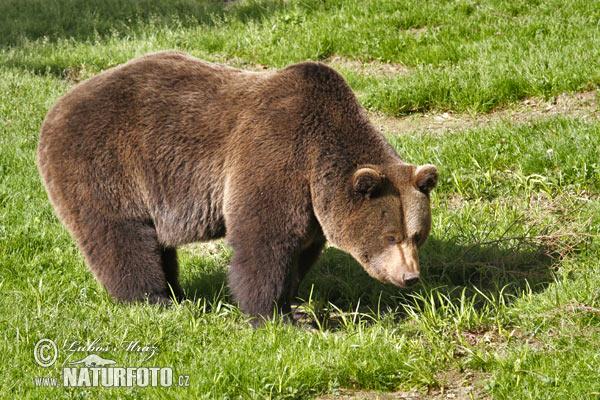 Картинка в лесу медведь