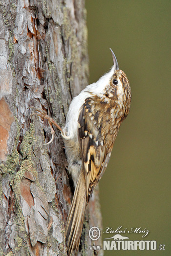Brown Creeper (Certhia familiaris)