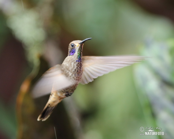Brown Violet-ear (Colibri delphinae)