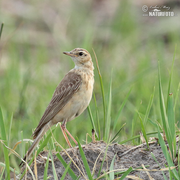 Buffy Pipit (Anthus vaalensis)