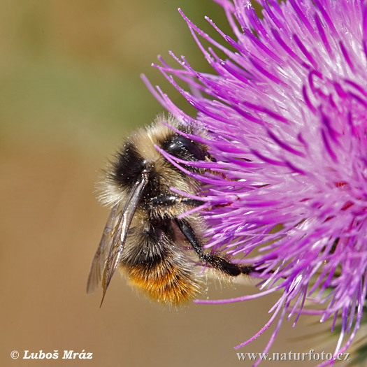 Bumble - bee (Bombus sp.)