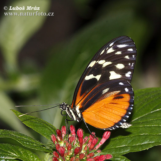 Butterfly (Heliconius hecale)