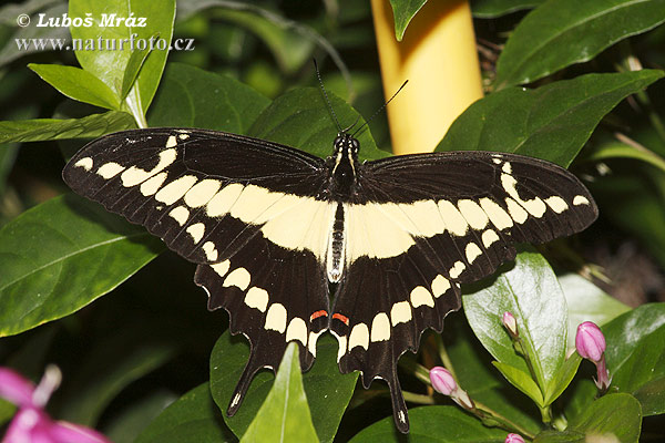 Butterfly (Papilio thoas)
