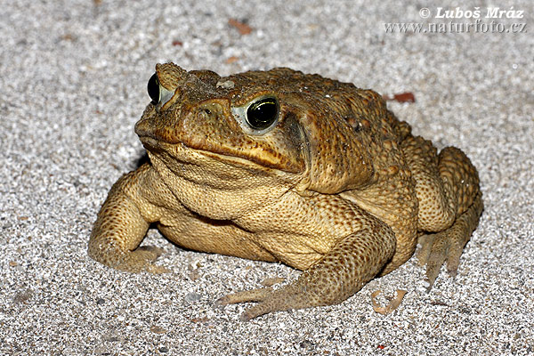 Cane Toads as Pets