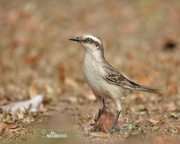Chalk-browed Mockingbird (Mimus saturninus)