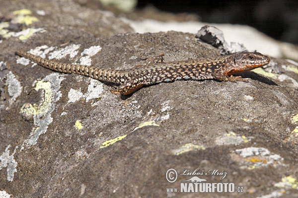 Common Wall Lizard (Lacerta muralis)