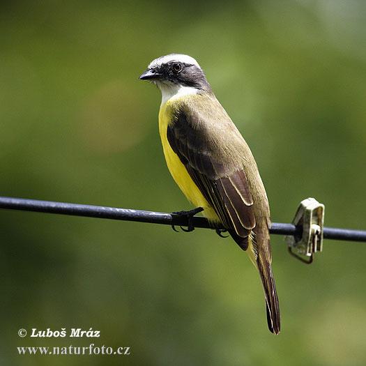 Conopias albovittatus pictures white ringed flycatcher for Oiseau jaune et noir