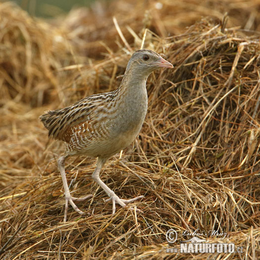 Corn Crake Pictures, Corn Crake Images | NaturePhoto
