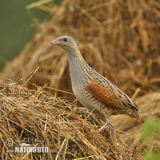 Corn Crake Photos, Corn Crake Images, Nature Wildlife ...