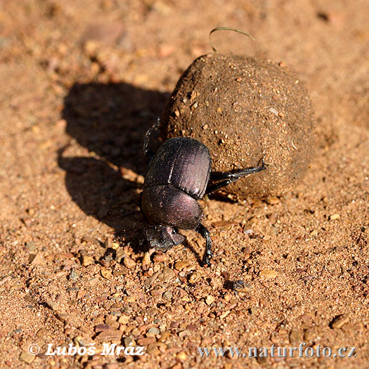 Dung Beetle Photos, Dung Beetle Images | Photobank NaturePhoto-
