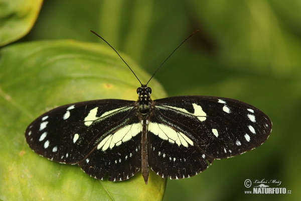 False zebra longwing (Heliconius atthis)