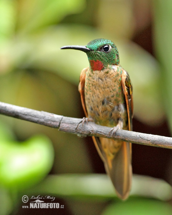 Fawn-breasted Brilliant (Heliodoxa rubinoides)