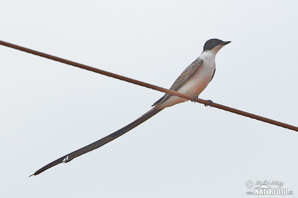 Fork-tailed Flycatcher (Tyrranus savana)