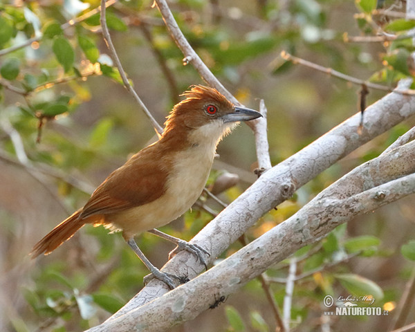 Great Antshrike (Taraba major)