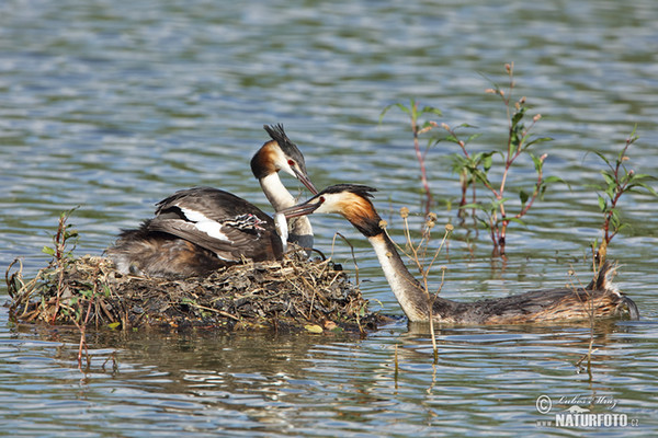 Great Crested Grebe (Podiceps cristatus)