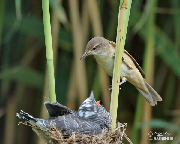 Great Reed Warbler and Cuckoo (Cuculus canorus)
