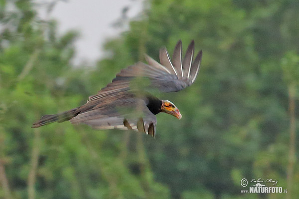 Greater Yellow -headed Vulture (Cathartes melambrotus)