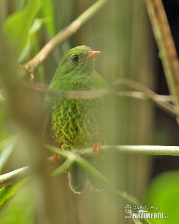 Green-and-black Fruiteater (Pipreola riefferii)