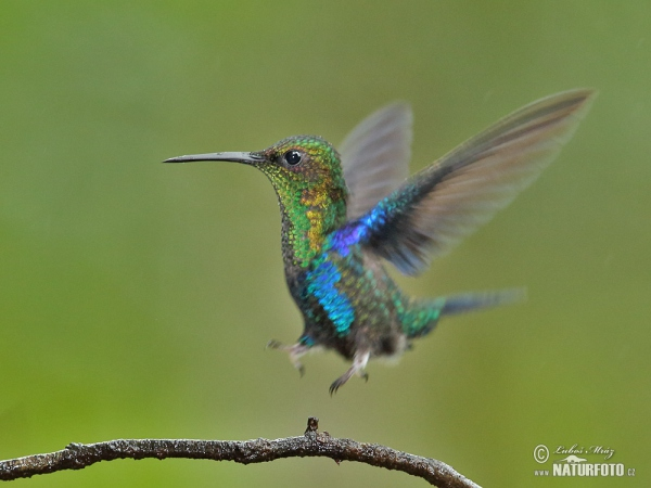 Green-crowned Woodnymph (Thalurania fannyae)