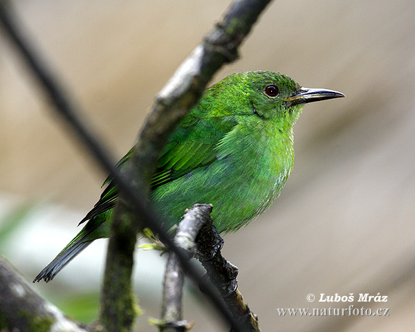Green Honeycreeped (Chlorophanes spiza)