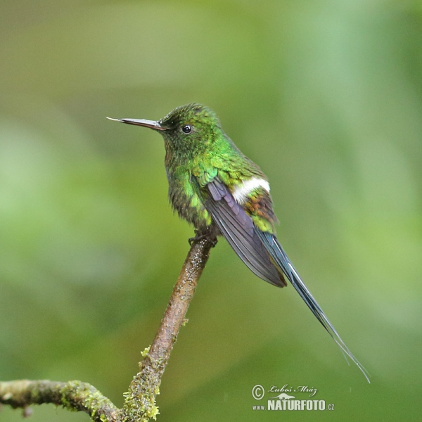 Green Thorntail (Discosura conversii)