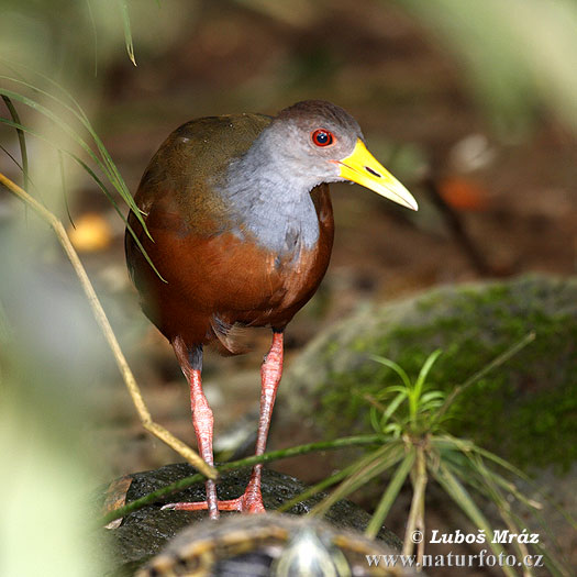 Grey-necked Wood-Rail (Aramides cajanea)