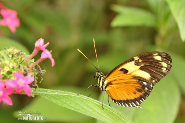 Harmonia Tiger-wing (Tithorea harmonia)