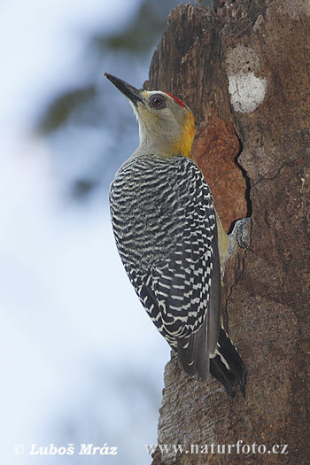 Hoffmann ´s Woodpecker
