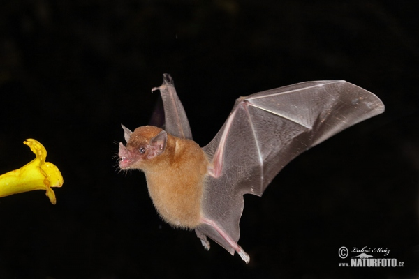 Leaf-nosed bat (Phyllostomidae)