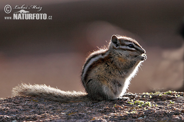Least Chipmunk (Tamias minimus)