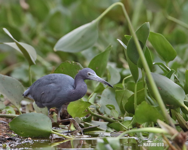 Little Blue Heron (Egretta caerulea.)