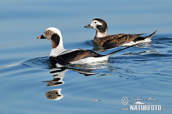 Long Tailed Duck (Clangula hyemalis)