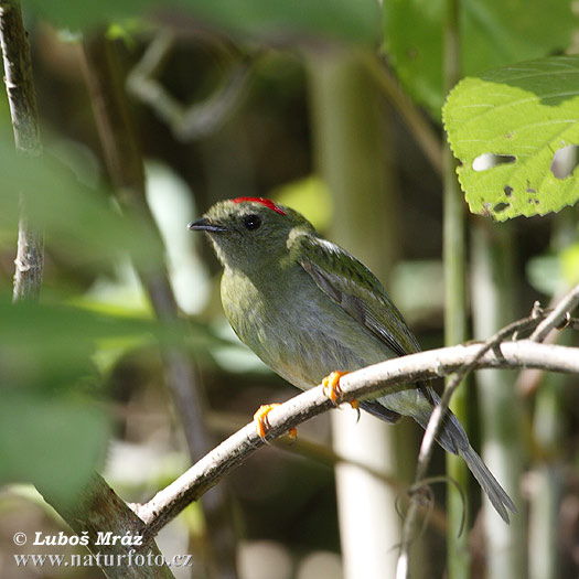 Long-tailed Manakin (Chiroxiphia linearis)