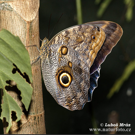 Morpho sp. Butterfly (Morpho sp.)